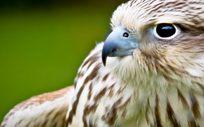 Upclose with a Hawk